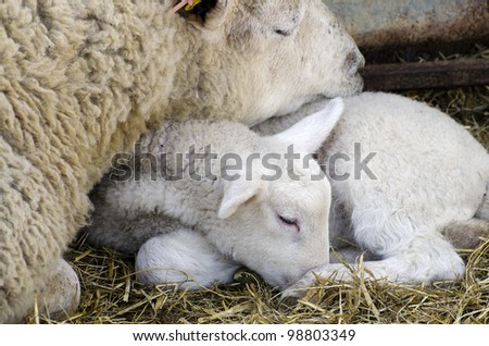 Baby Lamb with Mother; single adorable baby lamb, resting with its mother