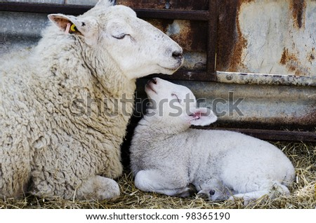 Baby Lamb with Mother; single adorable baby lamb, with its proud mother