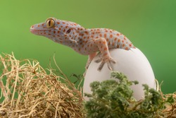 baby leopard gecko came out from the egg