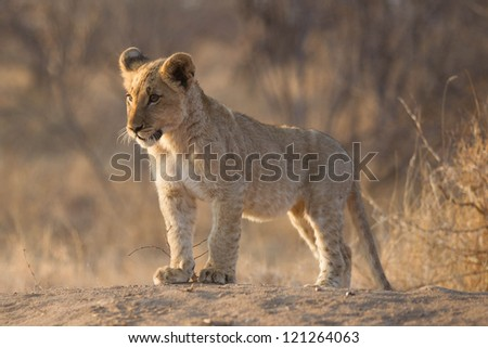 Baby Lion in South Africa