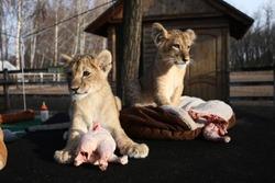Baby lions feeding