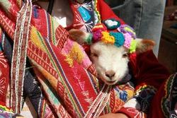 Baby Llama, Pisac, Inca Sacred Valley, Peru