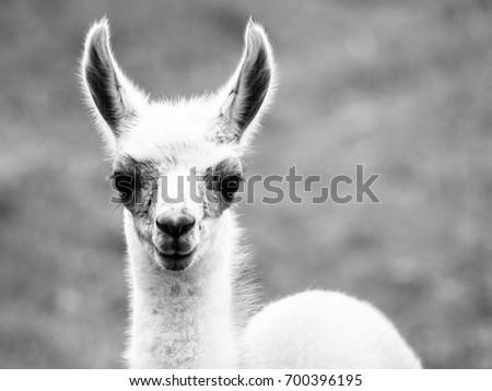 Baby llama portrait. Cute south american mammal. Black and white image