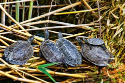 Baby loggerhead sea turtles known also as Caretta Caretta in Iztuzu, Dalyan, Turkey