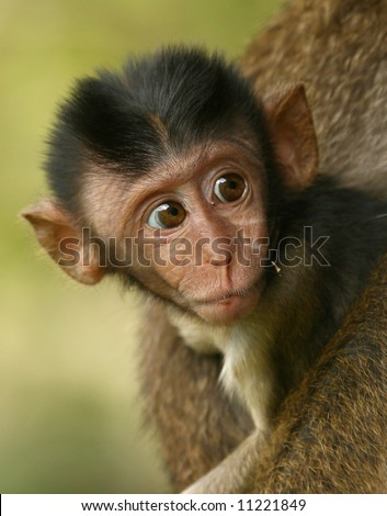 baby long-tailed macaque in the wild