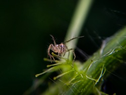 Baby lynx spider - Oxyopes sp