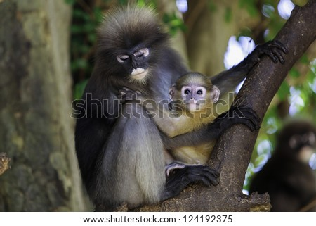 Baby macaque and his mother macaque
