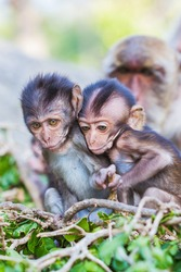 Baby macaque monkey play on tree