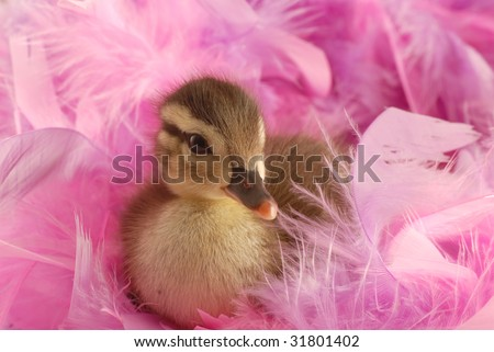 baby mallard duck surround by pink feathers