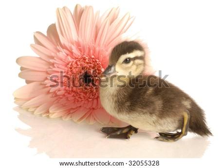 baby mallard duck with gerbera daisy on white background