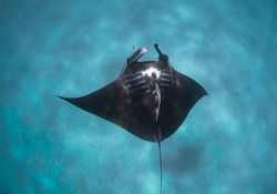 Baby Manta Ray shows its beautiful belly pattern to diver above, tropical blue water, Ningaloo Reef, Western Australia