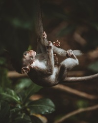 Baby-monkey climbs a liana in monkey forest of Ubud, Bali, Indonesia. Close up.