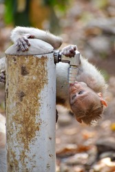 Baby monkey drinking water from hose bib. Water is precious, save water.