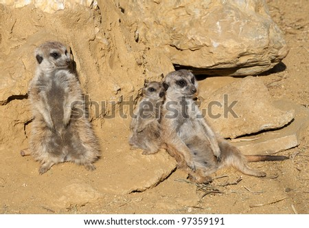 Baby Mother and Father Meerkat