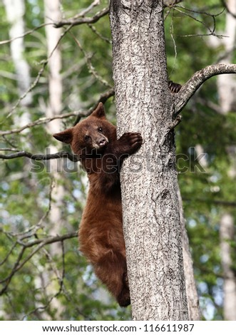 Baby North American Black Bear in tree