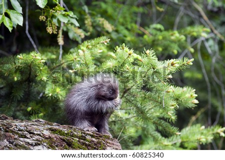 Baby North American porcupine (Erethizon dorsatum), eats a small flower while sitting on a log on the forest floor.  The quills and claws on the small porcupette are clearly visible.