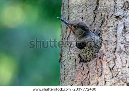 baby northern flicker waiting for mom back Foto stock ©