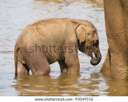 Baby of asian elephant bathing in river