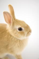Baby of orange Netherland dwarf rabbit