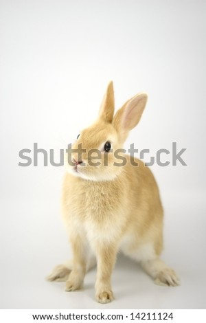 Baby of orange Netherland dwarf rabbit