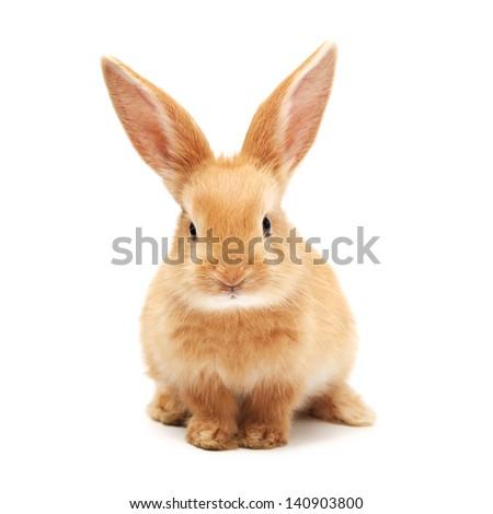 Baby of orange rabbit on white background #140903800