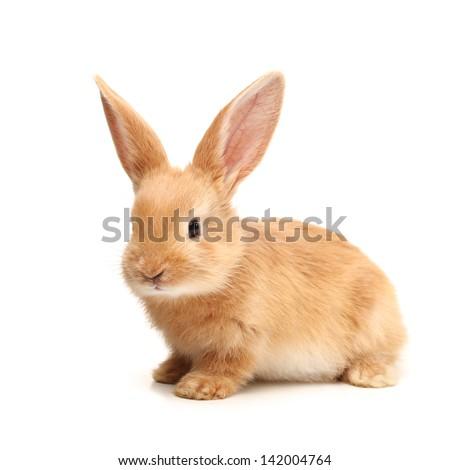 Baby of orange rabbit on white background #142004764