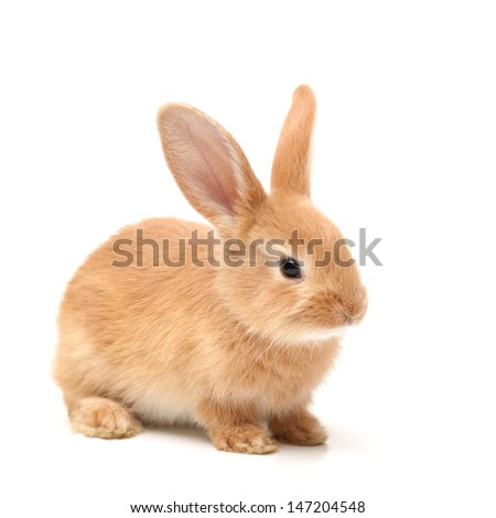 Baby of orange rabbit on white background