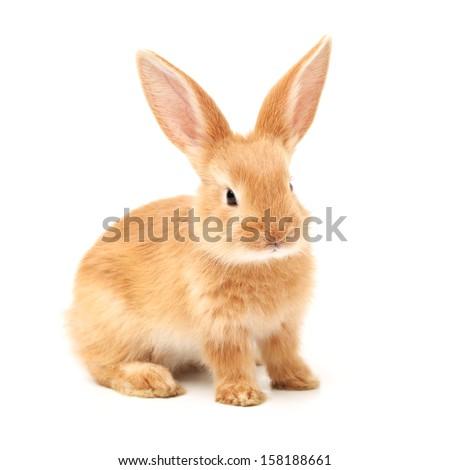 Baby of orange rabbit on white background  #158188661