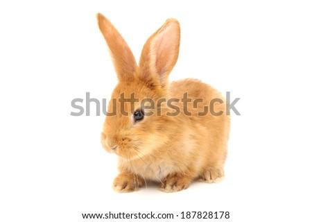 Baby of orange rabbit on white background  #187828178
