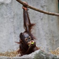 Baby Orangutan Eating
