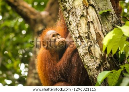 Baby orangutan in the Borneo jungle with mother orangutan