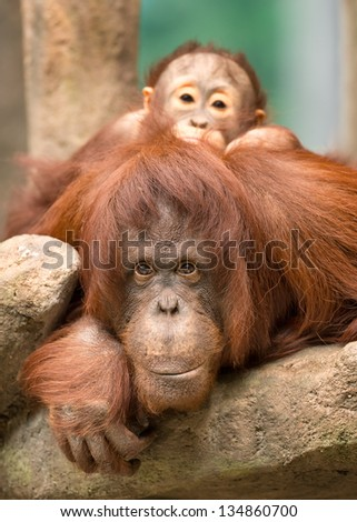 Baby orangutan peeking over the face of its mother