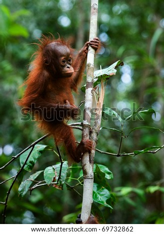 Baby orangutan (Pongo pygmaeus) swinging in tree .  Borneo, Indonesia.