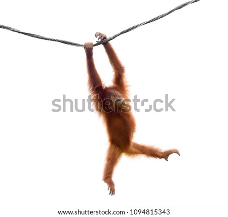 Baby orangutan swinging on rope in a funny pose isolated on white background #1094815343
