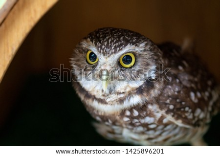 baby owl head close up #1425896201
