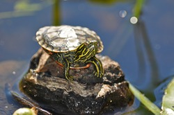 Baby Painted Turtle Sunning Itself in the Summer's Sun
