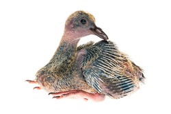 Baby pigeon isolated on white background