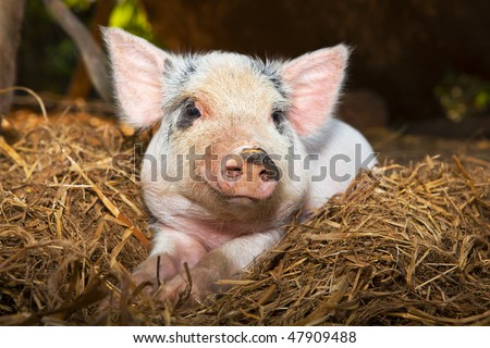 Baby piglet close up