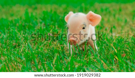 baby piglet grazing in the meadow Photo stock ©