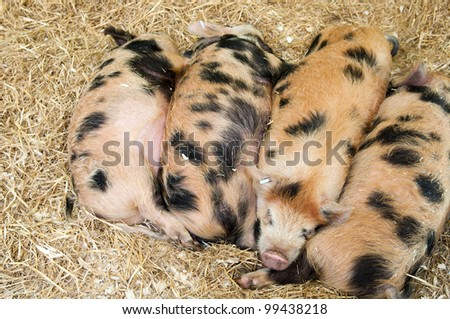 baby pigs with black spots sleeping on hay