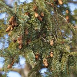 Baby Pine Cones