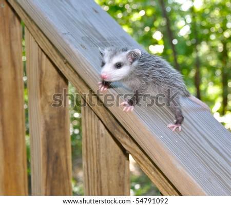 Baby possum on deck rail