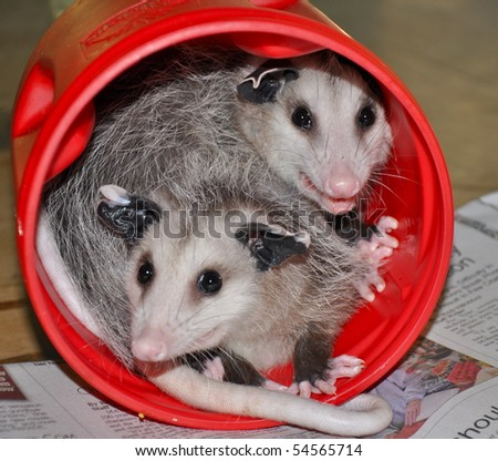 baby possums in a can
