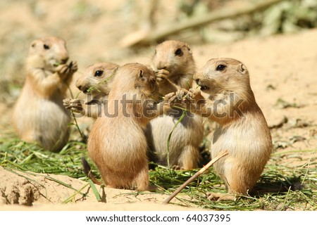 Baby prairie dog eating