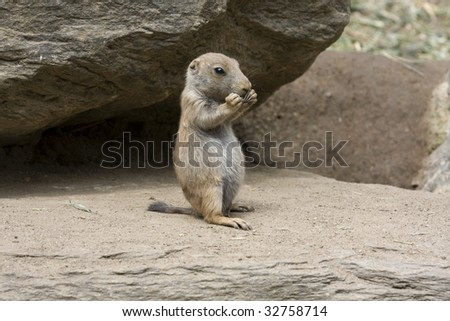 Baby prairie dog sitting upright eating with both paws at mouth