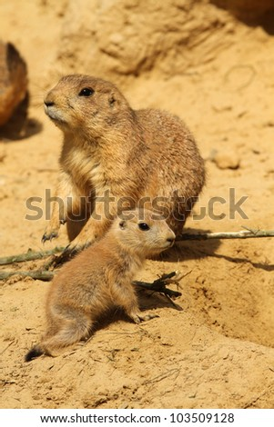 Baby prairie dog with in the background its parent