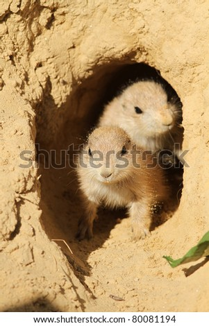 Baby prairie dogs looking out of their burrow