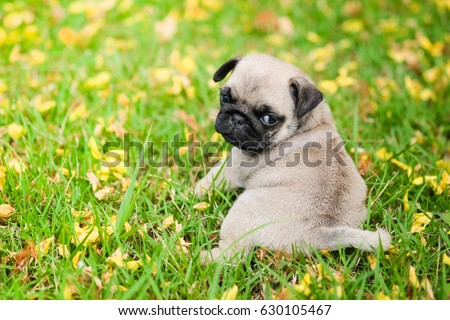 Baby pug dog playing on grass and yellow flower.