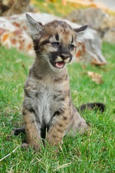 Baby Puma and kitten are very similar. But baby puma is a point along body and will fade as it grow up.