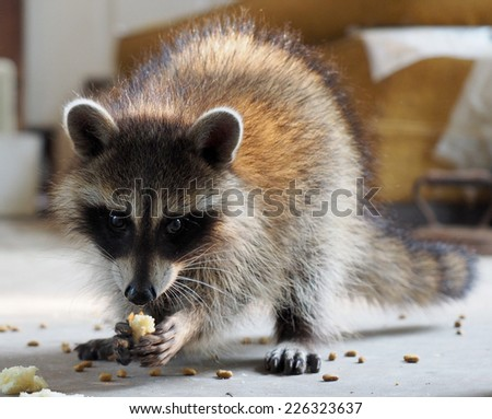 Baby Raccoon Eating